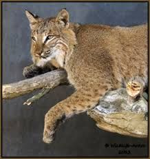 Cool Bobcat Mounts