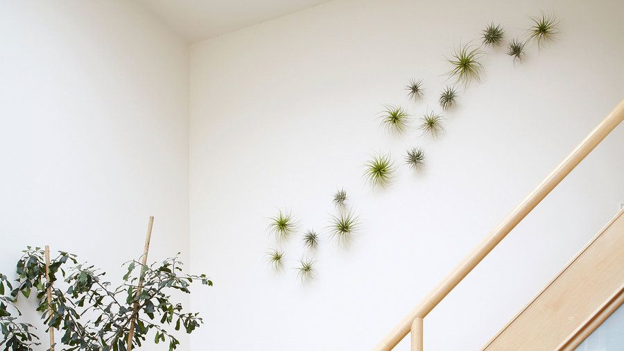 Going up | Not confined to a container with potting soil, air plants lend themselves to creative arrangements indoors and even out
