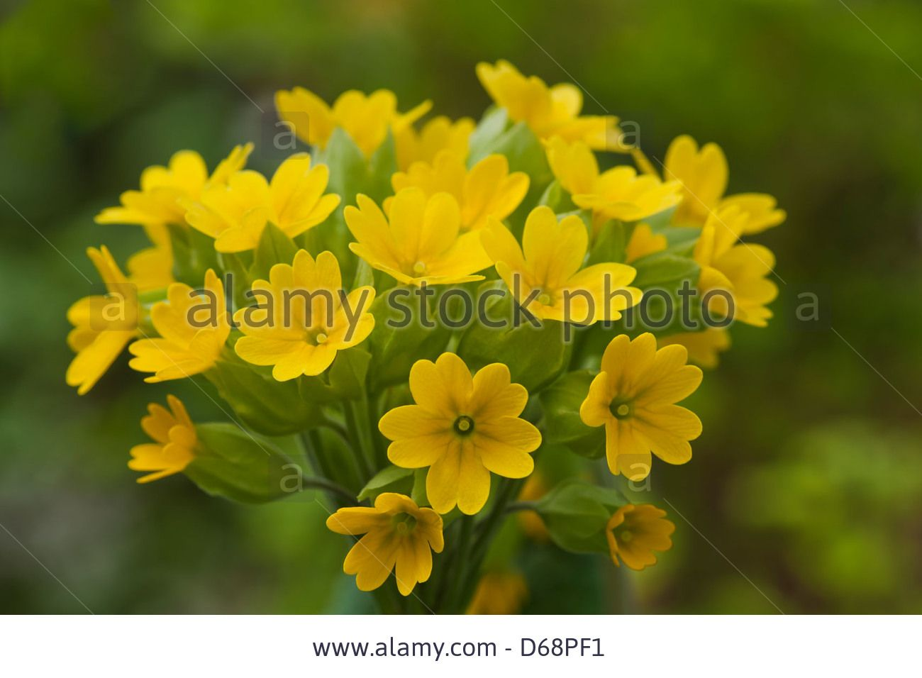 English Cowslip Primula Veris Spring Flower Perennial Yellow April
