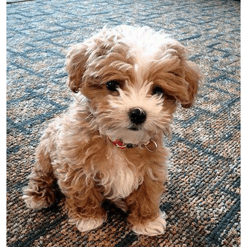 Teddybear Teddy Bears Are Extremely Loyal Dogs And Love Physical Contact They Enjoy Taking A Midday Nap On Your Lap Or At Your Feet Cute Animals Pets Puppies