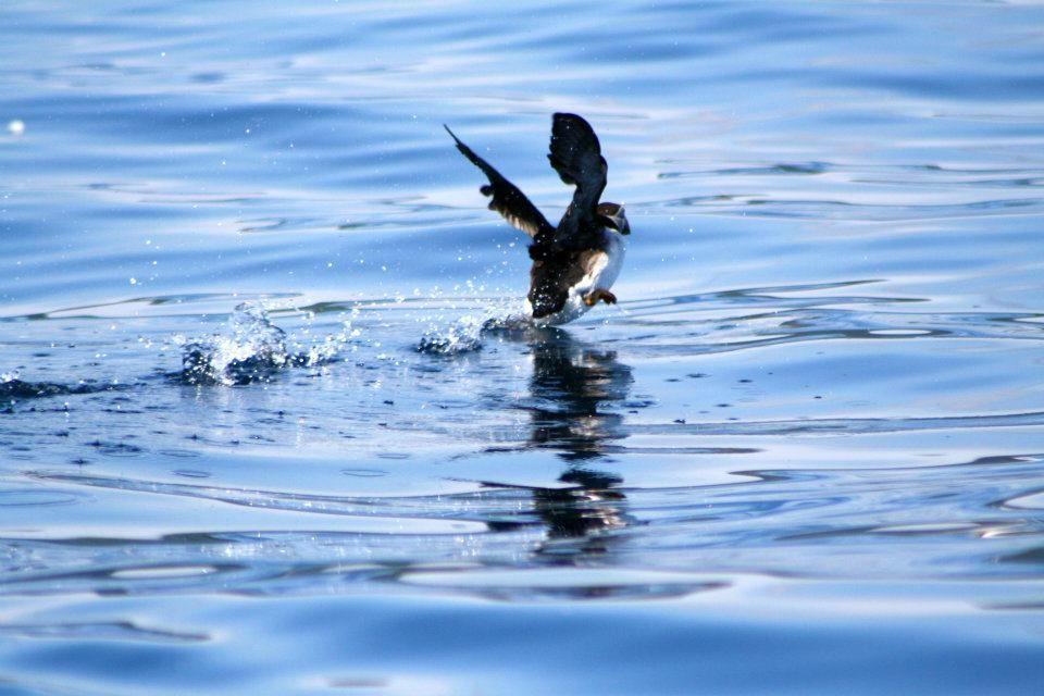 North Atlantic puffin