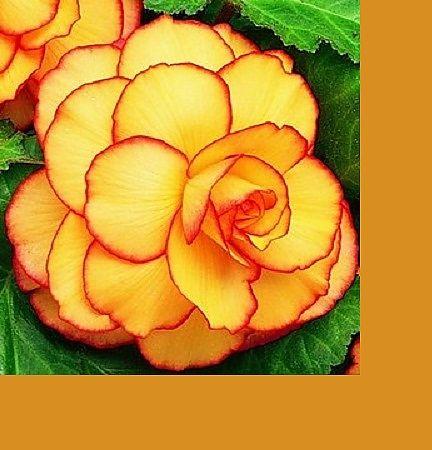 Begonia Sunburst Picotee Dahlia Barn Bulb Flowers Begonia Botanical Flowers