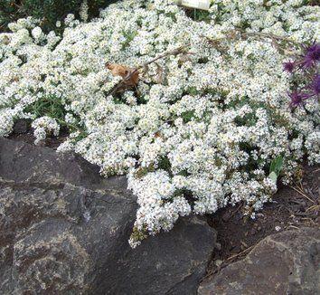 Aster ericoides var. prostrata 'Snow Flurry' 1 flower