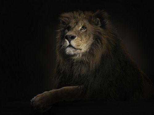 Untitled Lion Hd Wallpaper Lion Wallpaper Lion Images Wallpaper hd for pc lion