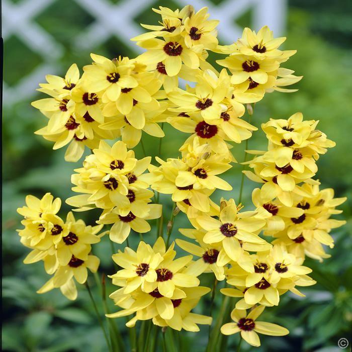 klebschwertel ixia yellow emperor 20 blumenzwiebeln g nstig online kaufen bestellen sie. Black Bedroom Furniture Sets. Home Design Ideas