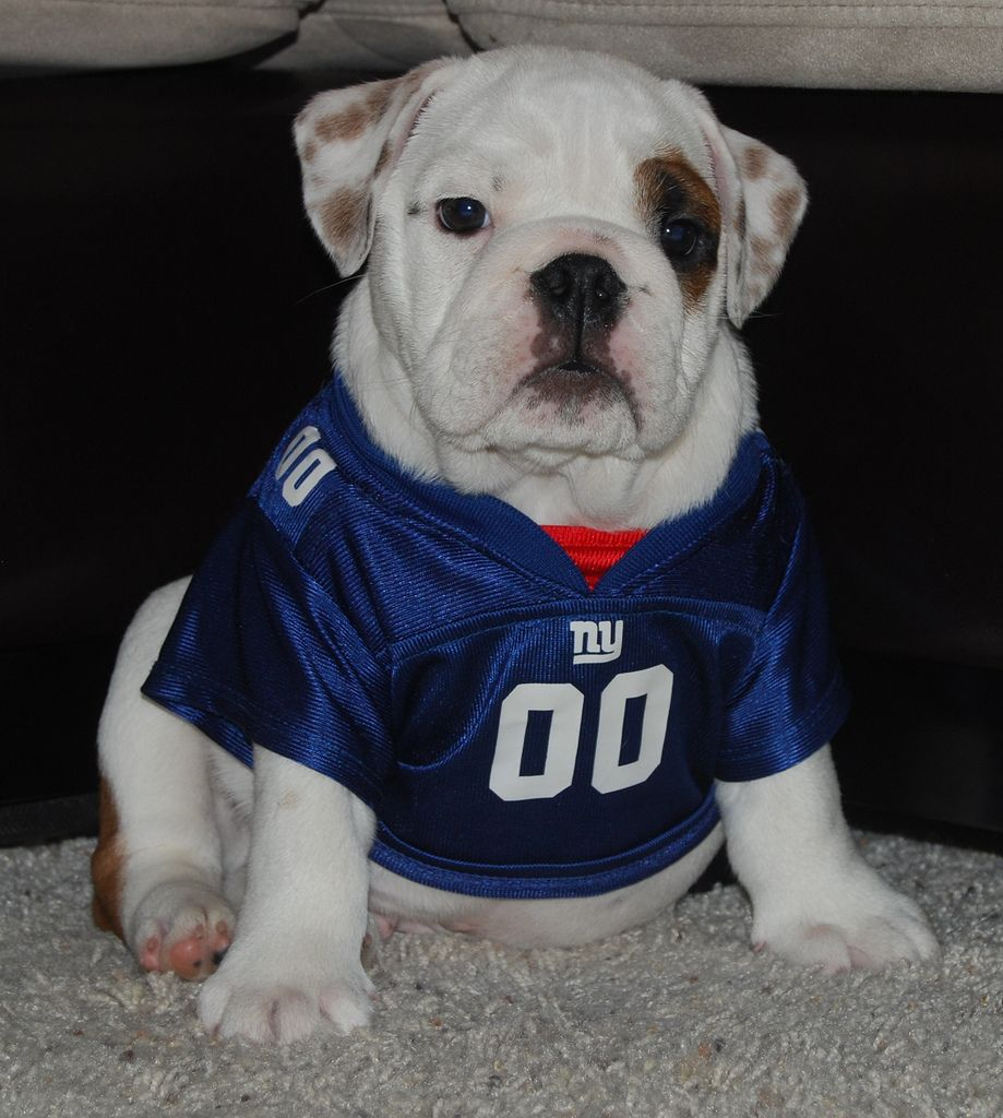 Facts Only A Ny Giant Diehard Would Know Athletic Dogs Nfl Dog