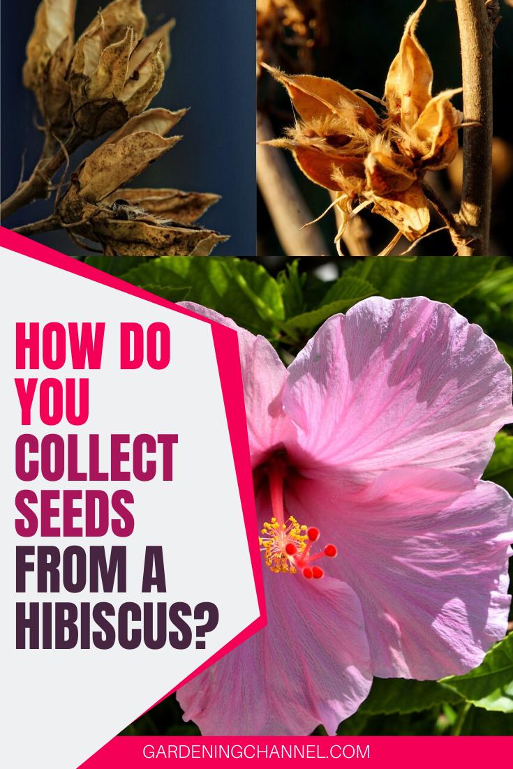 How To Grow Hibiscus Hibiscus Plant Growing Hibiscus Hardy Hibiscus