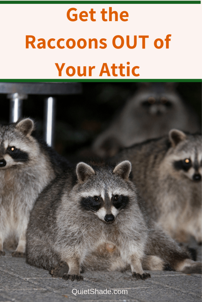 Raccoons In Your Attic Here S How To Get Rid Of Them Quiet Shade In 2020 Getting Rid Of Raccoons Raccoon Attic
