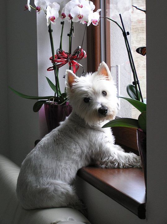 But Mom My Friends Are Outside Please Can I Go Play Westie Dogs Westie Puppies West Highland Terrier