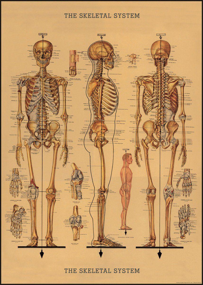 "12/""x18/"" Vintage Medical Human Skeleton Anatomy Chart Real Canvas Art Print"