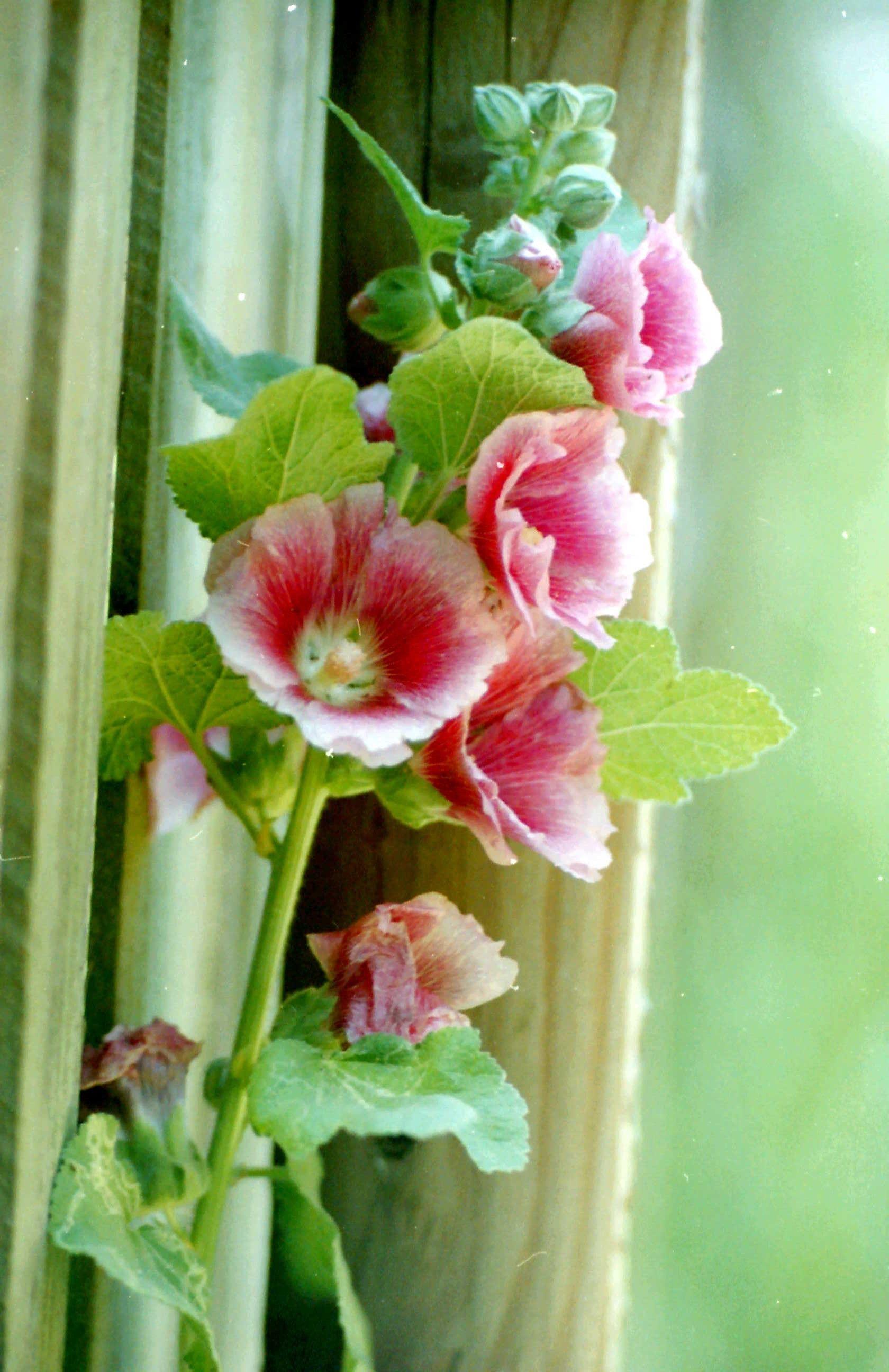 Hollyhocks Hollyhocks flowers, Country cottage garden