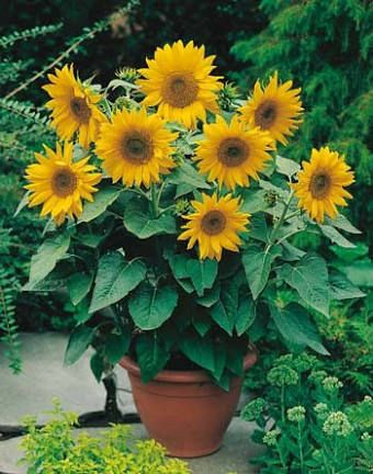 Sunflower 'Dwarf Sunsation'. These are going in the veg patch!