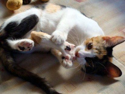 Cuidados de la gata en celo
