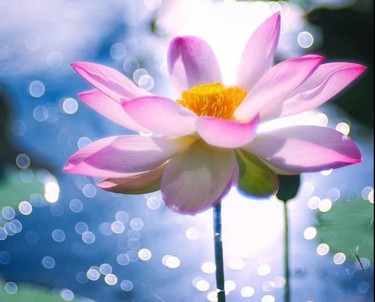 Pin by ellen marie on mindfulness pinterest lotus and flowers flowers izmirmasajfo