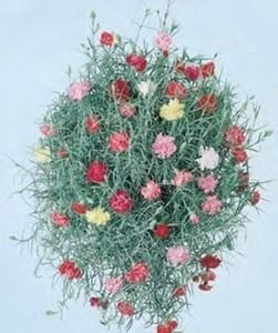 Dianthus Sweet Silver Annual Seeds Fragrant Plant Flower Seeds Carnations