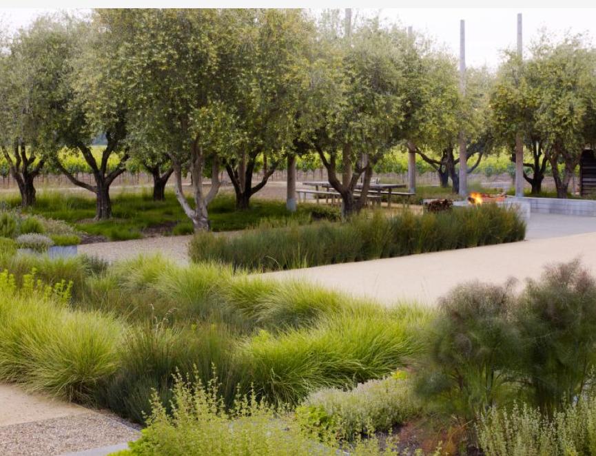 Thomas woltz olive trees grasses garden pinterest for Natural grasses for landscaping