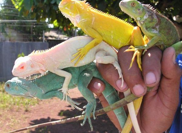 iguanas de cativeiro, cruzamentos seletivos.