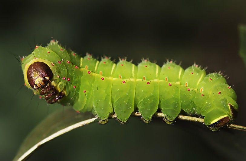 Luna Moth Caterpillar - Life Cycle, Habitat, Pictures, Facts in 2020 | Luna moth, Moth caterpillar, Buck moth caterpillar