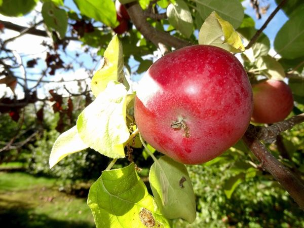 """If nothing says """"fall"""" to you like an afternoon of apple picking or the cinnamon-tinged aroma of a baking pie, why not try an apple-inspired road trip? Horaceville Harvest Hurry to catch this one-day event—the fun rolls out tomorrow, September 20, at Pinhey's Point Historic Site in Dunrobin. From 10am to 4pm, you can play …"""