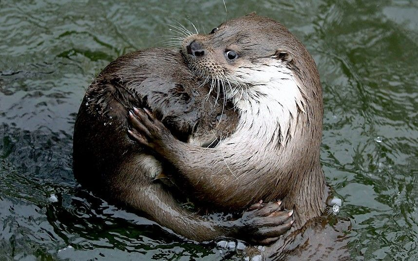 From here to otternity...Two European otters embrace in a pond at Warsaw Zoo, Poland