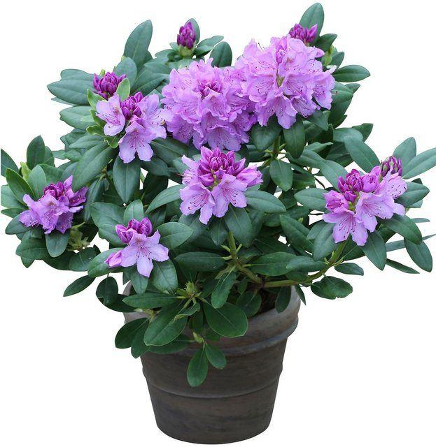 BCM Rhododendron »Catawbiense Grandiflorum«, Standort: Sonne-Halbschatten online kaufen | OTTO