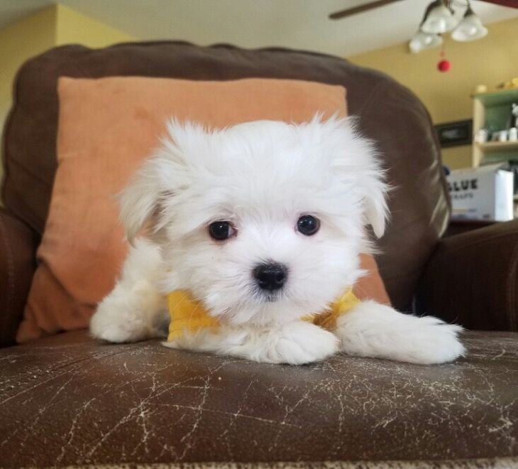 Maltese Puppy For Sale In Los Angeles Ca Adn 27446 On