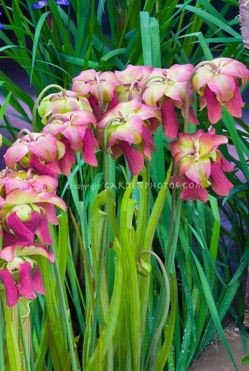Saracenia X Popei Plant Flower Stock Photography Gardenphotos Com