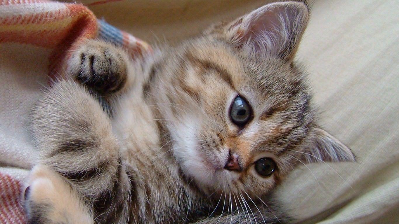 最高の壁紙 人気の壁紙 壁紙 無料 猫 猫 猫 赤ちゃん 子猫