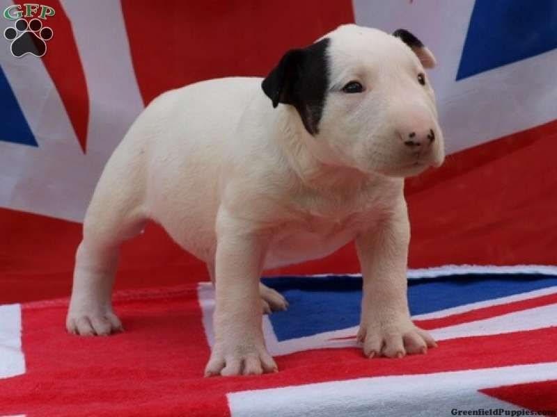 Gia Bull Terrier Puppy For Sale in New Jersey Bull