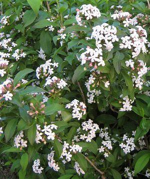 Abelia Fragrant Abelia Mosanensis A Hardy Fragrant Abelia