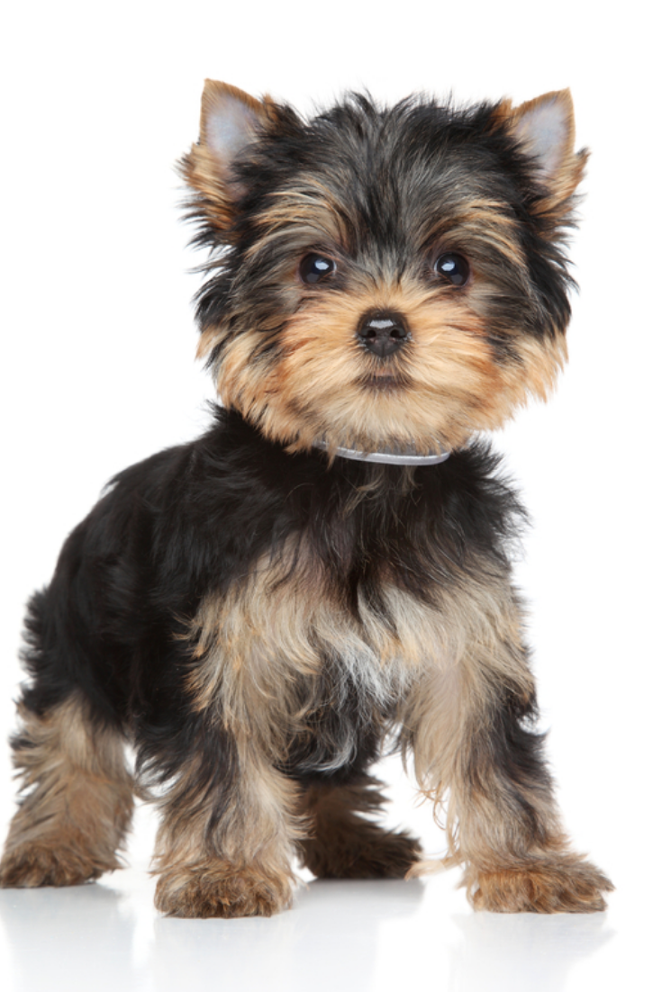 Yorkshire Terrier Puppy Stand On A White Background Yorkshireterrier Yorkshire Terrier Puppies Yorkshire Terrier Dog Yorkshire Terrier