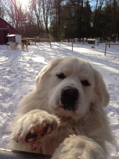 Pyr Paw What A Sweet Baby Great Pyrenees Great Pyrenees Dog