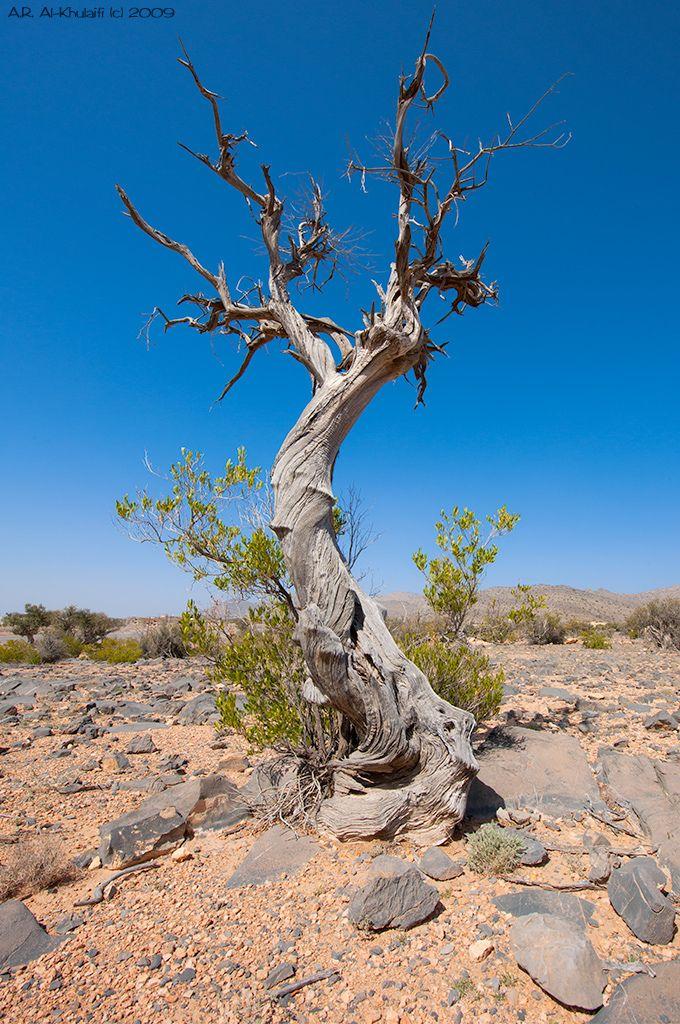 ع مان الجبل الأخضر Oman Weird Trees Old Trees Nature