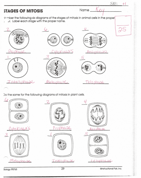 Mitosis Worksheet And Diagram Identification Answer Key Worksheets Mitosis Matter Science Experiments Worksheets