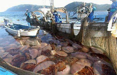 Nomura's Jellyfish | Nomura's Jellyfish in the Sea of Japan, is a huge challenge to harvest ...