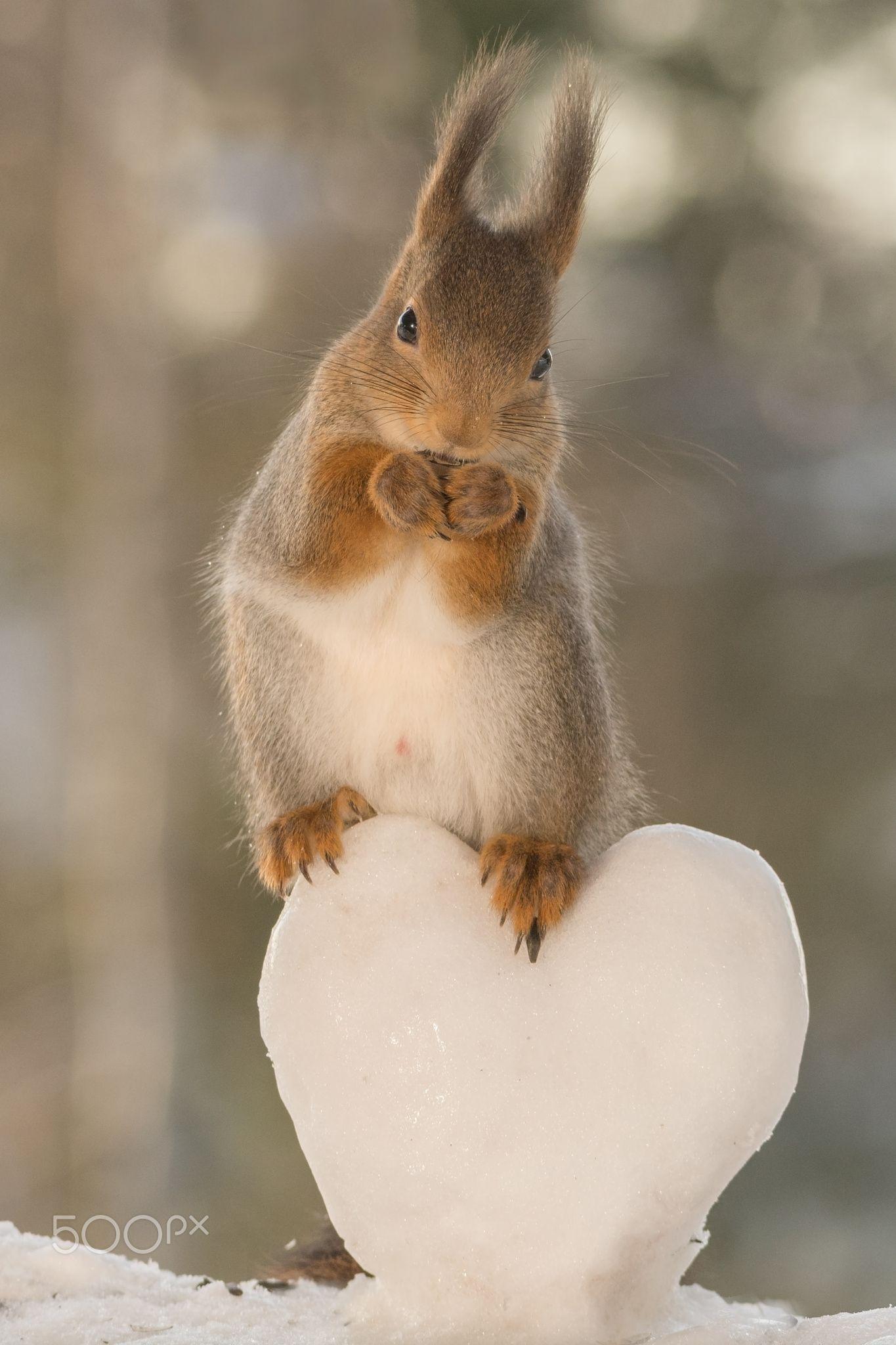 close up of red squirrel on a snow heart. Geert Weggen