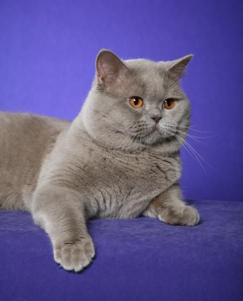Sooo pretty and cute! British Shorthair Cats