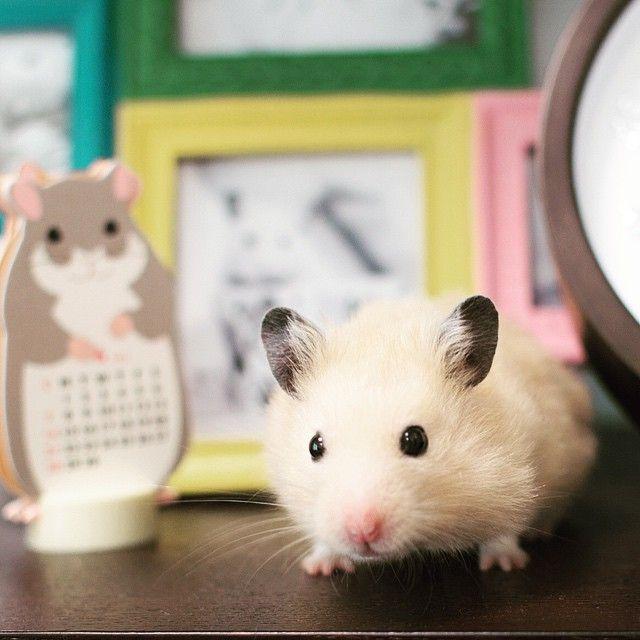 Hamster おしゃれまとめの人気アイデア Pinterest Laura Marie キンクマ ハムスター ナッパ