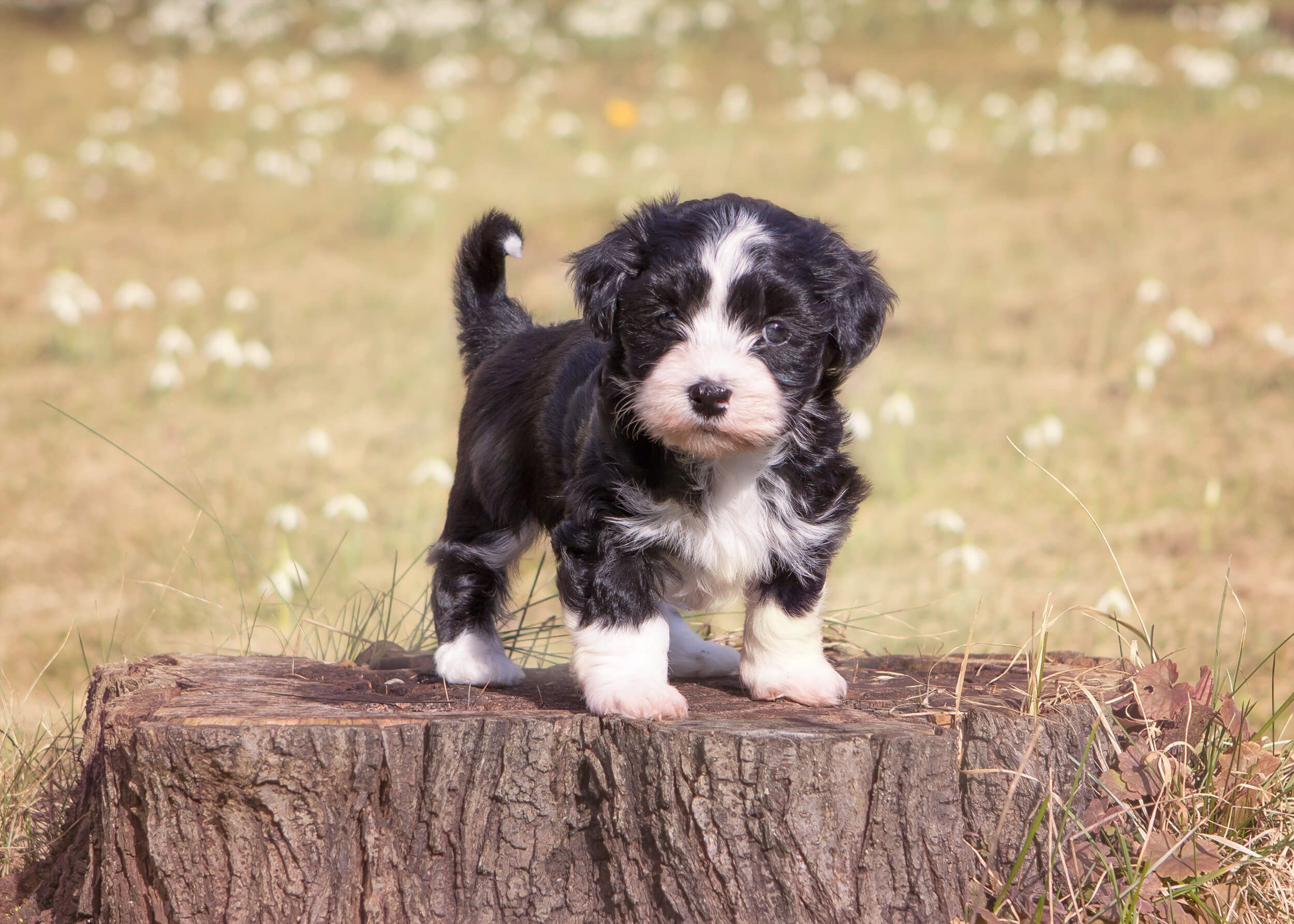 Hanka Ist Ihre Mutter The Bichon Frise And Yorkshire Terrier Mix Is An Ideal Pet For Active Owners Havaneser Steckbrief C In 2020 Terrier Mix Havanese Havanese Dogs