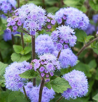 Tall Blue Planet Seeds Have Upright Sturdy Stems And Tight Blue Flower Clusters Use This Variety As A Classic Purple Flowers Garden Flower Seeds Flower Farm