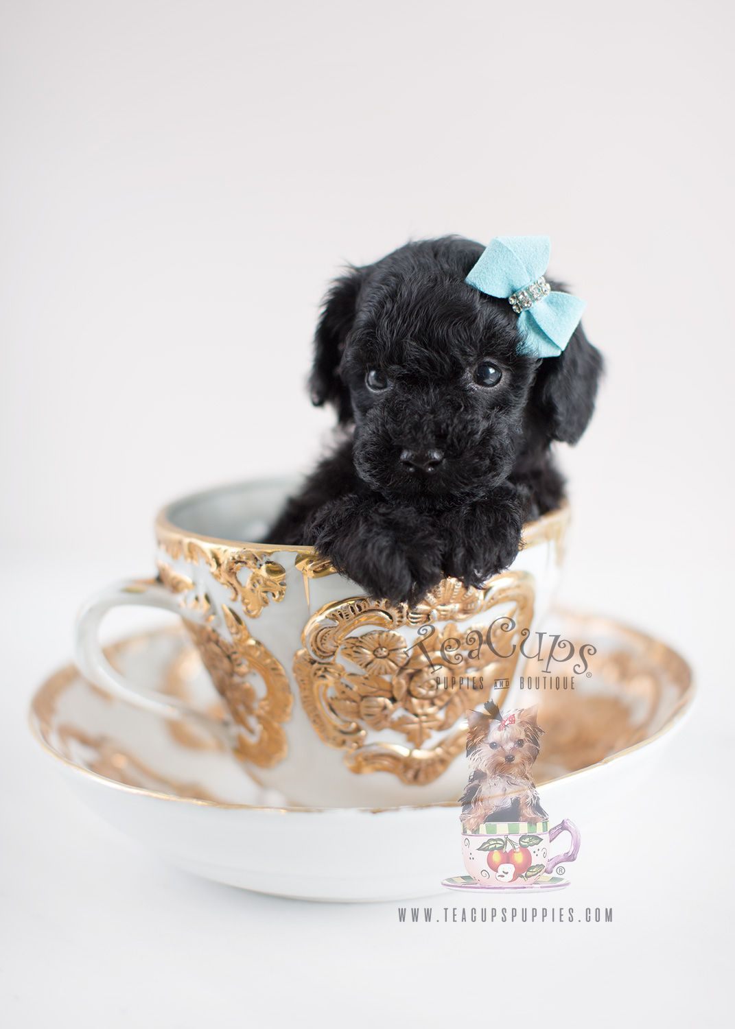 Black toy poodle puppy for sale teacup puppies 035