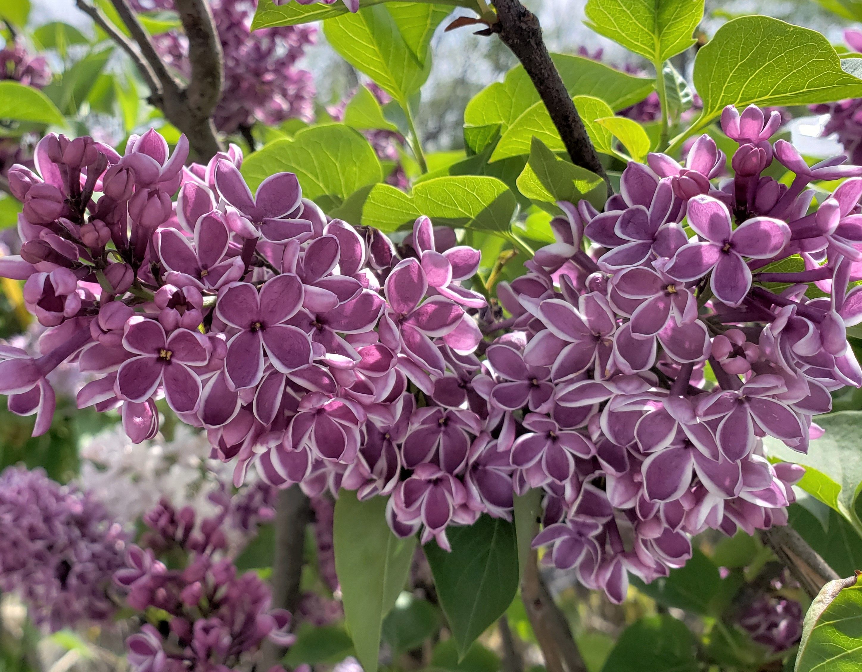 lilac blooms bring heavenly fragrance to the
