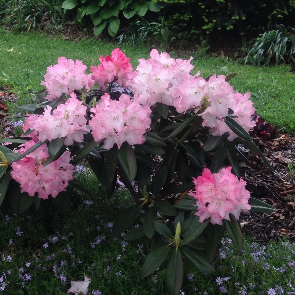 Rhododendrons Plant Care And Collection Of Varieties Garden Org