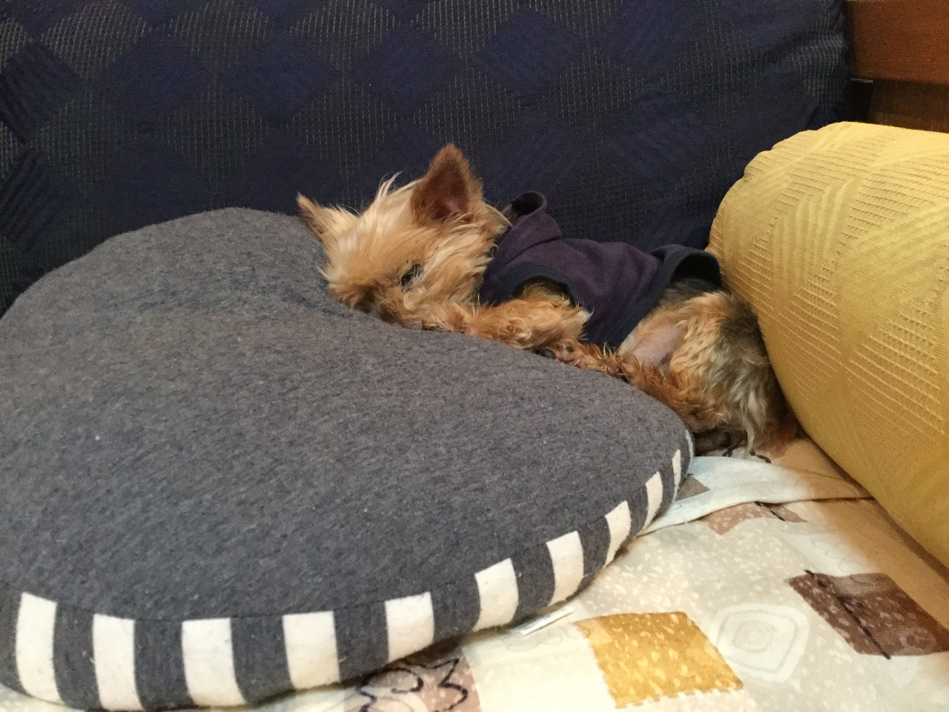 Pin By G Munoz On I Animals Yorkshire Terrier Cute