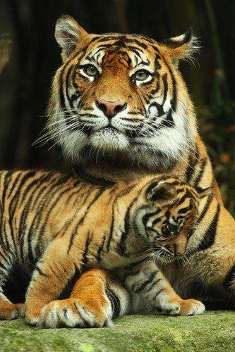 sumatran tiger mom and cub