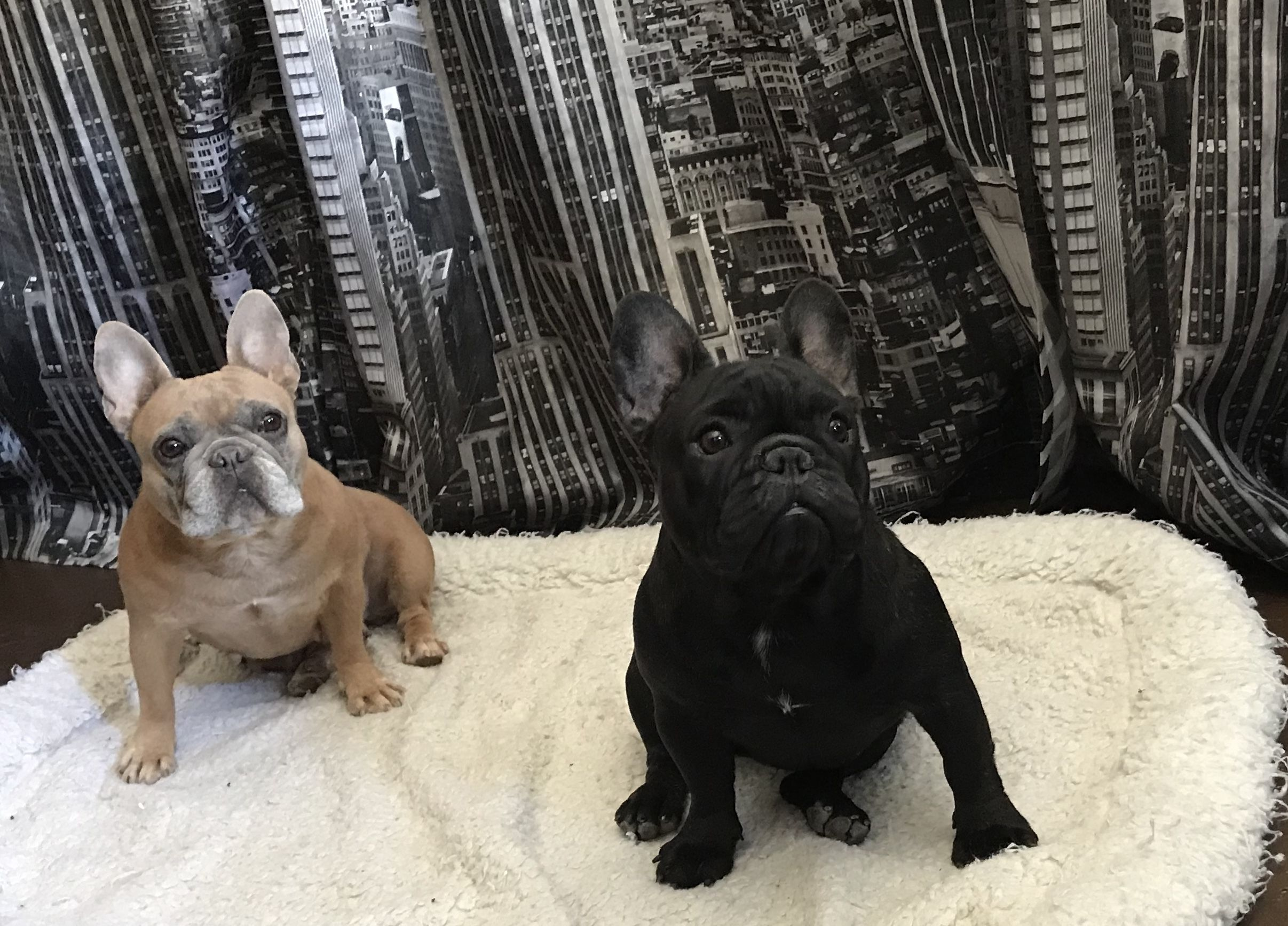 Danshis Akc English French Bulldogs Family Raised Health