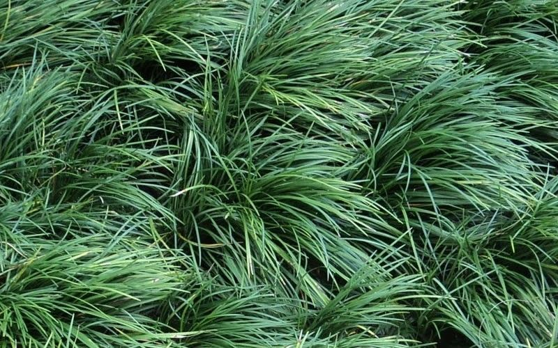 Mondo Grass Forms A Lush Carpet Of Very Dark Green Grass Like Foliage It Is Similar In Appearance To Big B Mondo Grass Ophiopogon Japonicus Dwarf Mondo Grass
