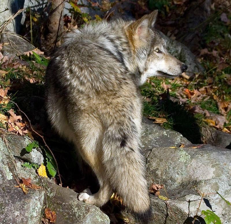 ป กพ นโดย Hi ใน Wonders Of The Wolf ส ตว