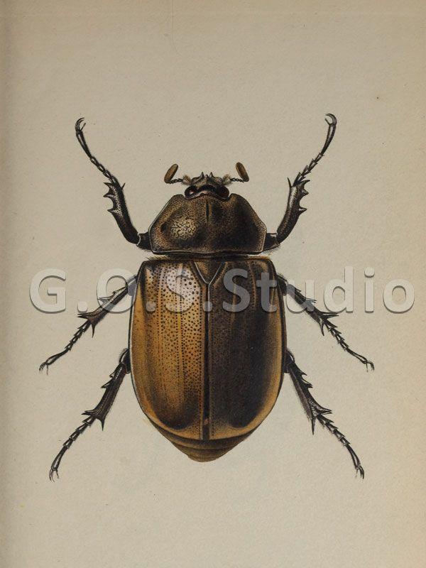 ★ №(0017) ★ Beetle. Art for design. Rare Vintage Scan.  #Design #Beetle #Vintage #Zazzle