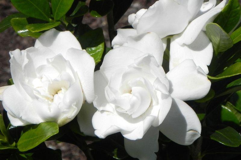 Https Www Calloways Com Plants Flowers Shrubs Crown Jewel Gardenia Flowers Planting Flowers Gardenia